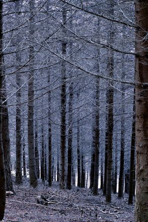 Pine forest in Beaujolais at dawn (France) photo