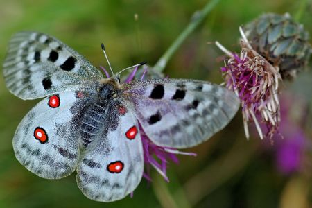 The Apollo butterfly is found in all the high mountains of Europe. This one was photographied in french Alpes photo