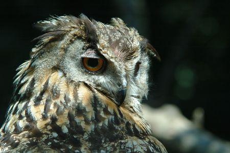 horned: horned owl Stock Photo