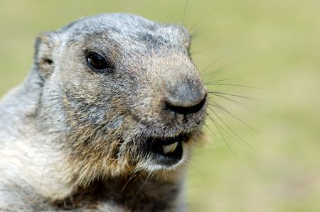 restrained: Marmots face photographied in french Alps durig summer