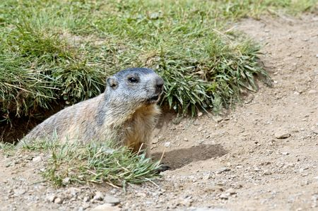Did you know : the name marmot comes from French marmotte Stock Photo - 1052145