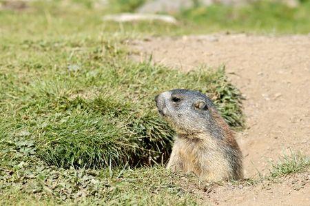 I encountered a marmot near its hole.... Stock Photo - 1052146