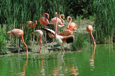 pink floyd: Reflection with pink flamingos
