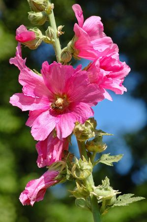 Hollyhock rose with a wasp Stock Photo - 1052937