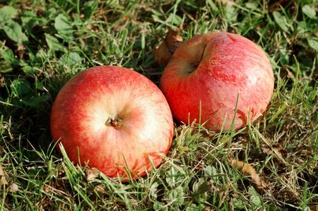 Two apples fallen into grass photo
