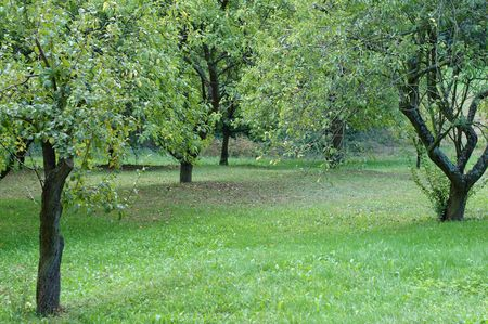 harvests: september, plumtrees in an orchard
