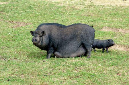chinese pig: Chino cerdo con ni�os