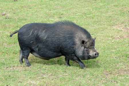 chinese pig: Los chinos de cerdo es el animal m�s honorable de la zodiac. Foto de archivo