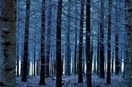 Pine forest in Beaujolais (France) at dusk photo