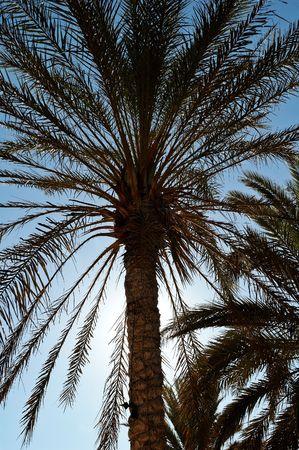 Palm plantation in Tozeur (Tunisia) photo