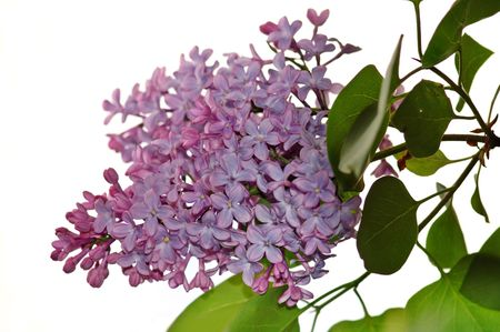regain: Lilac branch and flowers on white background Stock Photo