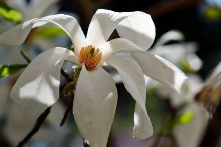 White magnolia  Shadow and light photo