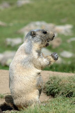 Female marmot speaking to her Stock Photo - 1106314