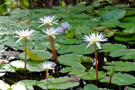 Giant water lily. Victoria regia was  the subject of a competition between Victorian gardeners in England. photo