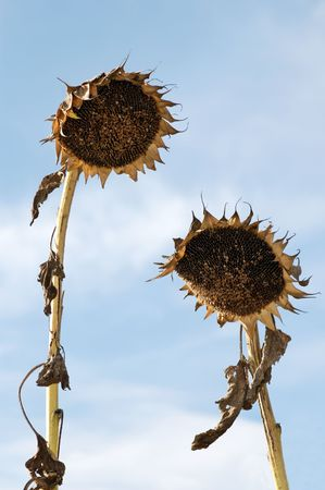slumped: Crumpled Sunflowers like a man and a woman meeting together
