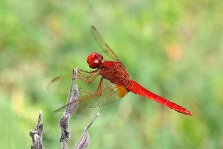 bogs: The Sympetrum sanguineum is found in fens, cutover bogs and small lakes