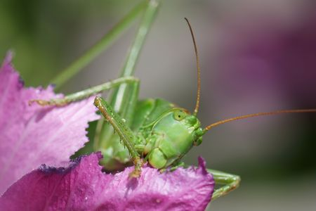 acrididae: Close-up of a giant Grasshopper eating a hollyhock rose.  Stock Photo
