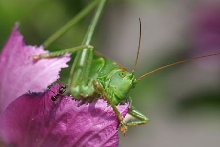acrididae: Close-up of a giant Grasshopper and an ant eating a hollyhock rose. Stock Photo