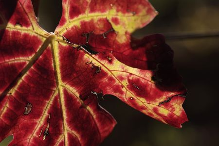 Autumn Leaves of Grapevine - Detail on dark background photo