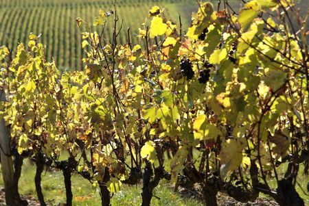 At the heart of the Beaujolais appellation : Theizé Vineyards Stock Photo - 2180971