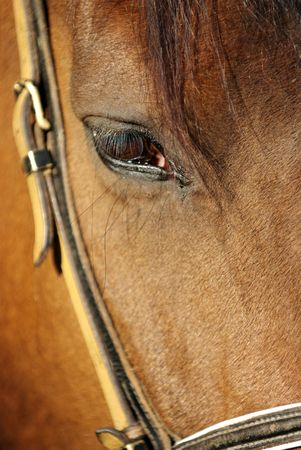 Detail of brown horse head with long eye-lashes