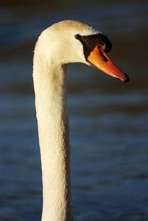 pluma, de textura, la suavidad, la luz, las aves, la naturaleza, primer plano, pureza, esponjoso, de macro, la fragilidad, de ala, sin problemas, patrón, resumen, la belleza, cisne, la elegancia, la penumbra, el detalle, el cuello Foto de archivo - 2817082