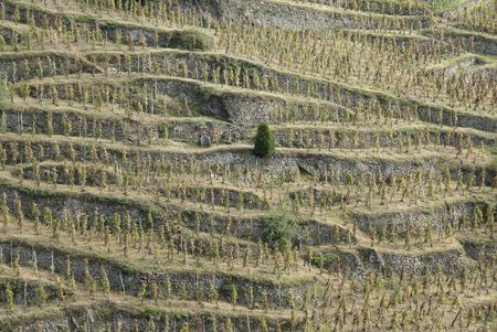 The Northern Rh�ne is most famed as the home of Syrah. The hillside appellation of Cote Rotie in the far north of the region produces what many consider to be the ultimate expression of Syrah Stock Photo - 3665384