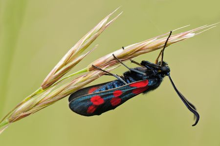 zygaena: Zygaena filipendula on a grass against green background