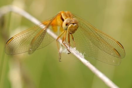 libellulidae: Yellow-winged Darter (Sympetrum flaveolum) from front.