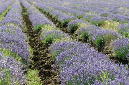 Lavender Fields in Provence France near Sault photo