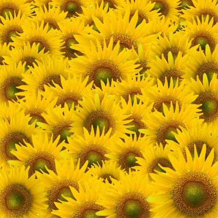 beautiful yellow Sunflower petals closeup Stock Photo - 10900687