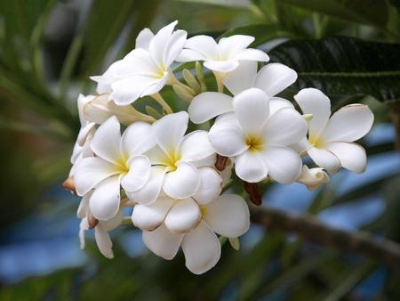 plumeria on a white background: Branch of tropical flowers frangipani (plumeria)  Stock Photo