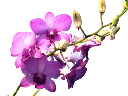 pink purple dendrobium orchid flower on white background
