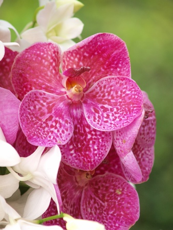 Closeup of red dendrobium orchid outdoor photo