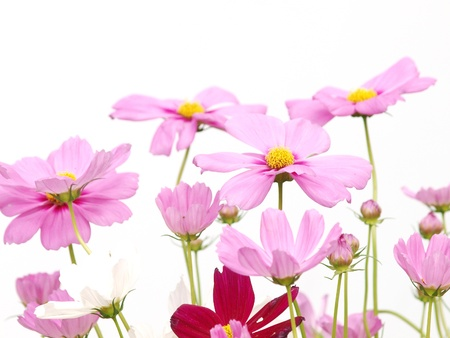 Pink flower of cosmos isolated on white background photo
