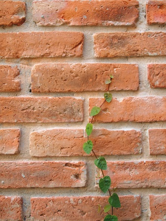 Brick wall and ivy photo