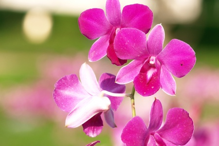 dendrobium: pink purple dendrobium orchid flower Stock Photo
