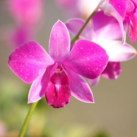 pink purple dendrobium orchid flower photo