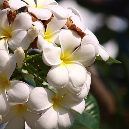 Branch of tropical flowers frangipani (plumeria)