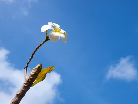 tropical flowers frangipani  plumeria  against with blue sky