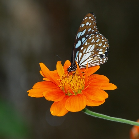 giant sunflower: Butterfly on a Mexican Sunflower Stock Photo