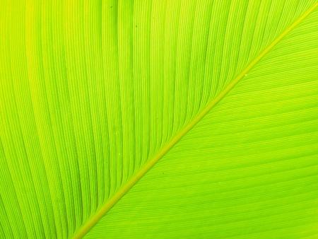 Textuur en detail van Banana Leaf
