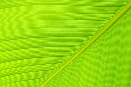 Texture and detail of Banana Leaf Stock Photo - 12734486