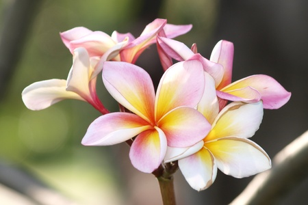 Branch of tropical flowers frangipani (plumeria) photo