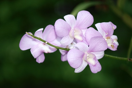 purple dendrobium orchid flower photo