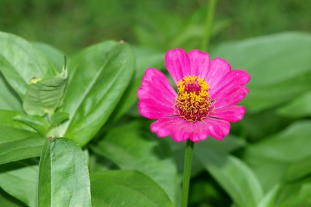 A close up of a vibrant pink flower Stock Photo - 12741403