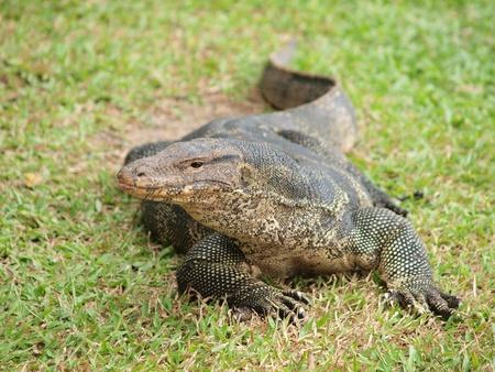 Closeup of monitor lizard - Varanus on green grass focus on the varanus eye