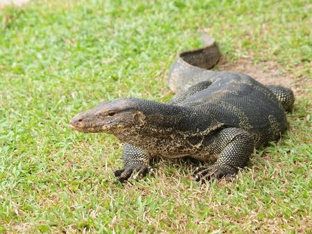 Closeup of monitor lizard - Varanus on green grass focus on the varanus eye Stock Photo
