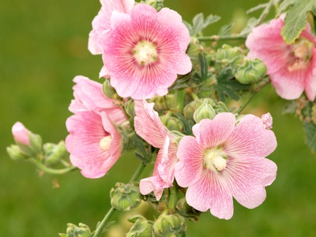 rosea: Pink hollyhock  Althaea rosea  blossoms