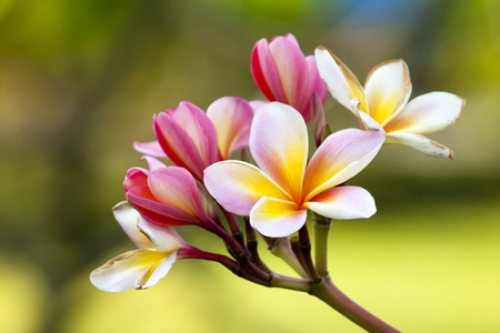 Branch of tropical flowers frangipani (plumeria) Stock Photo - 13447809